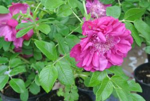 "Rosa Rugosa, Souvenir de Trélaze"" at Loubert, opens up like a peony"