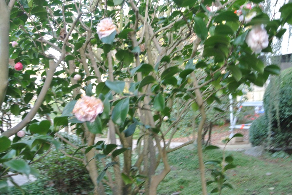 Camellias were already in bloom in January
