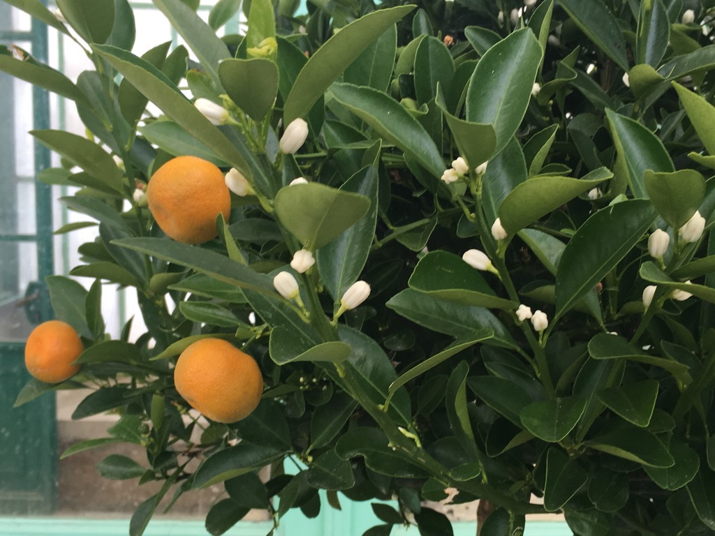 Tangerines were in fruit and in flower