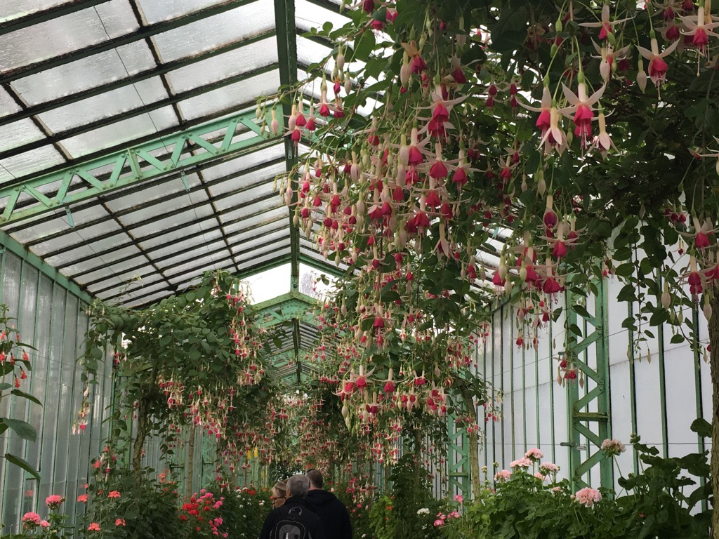 The two hundred meter long geranium green house also has fuchsias dripping from the ceiling