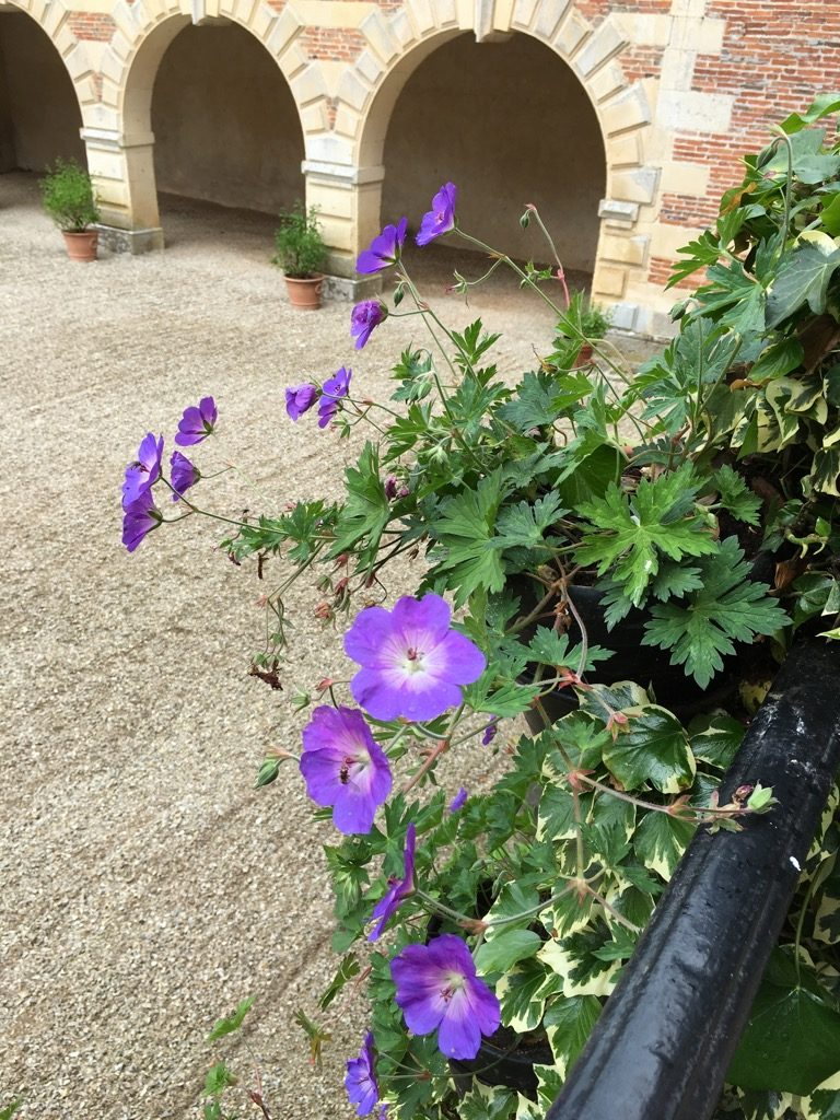 Lovely details of geraniums in the courtyard